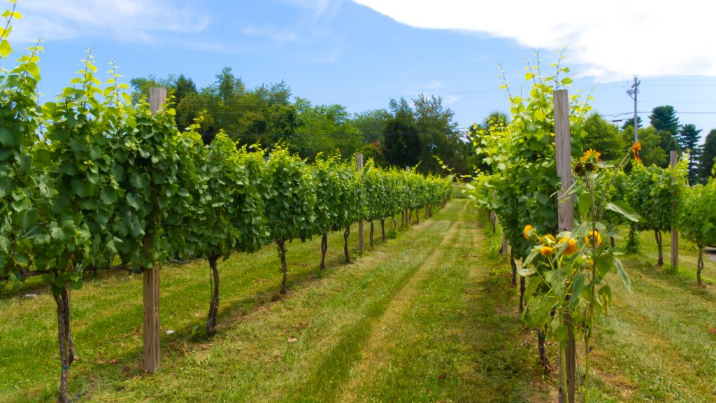 Maryland Vineyard