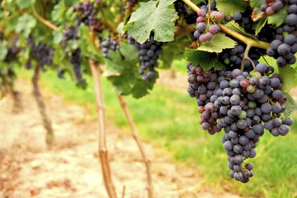 New Jersey Wine Grapes
